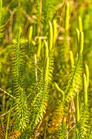 Huperzia, fir moss, medicinal plant in a forest,remedy against Alzheimer disease Stock Photo