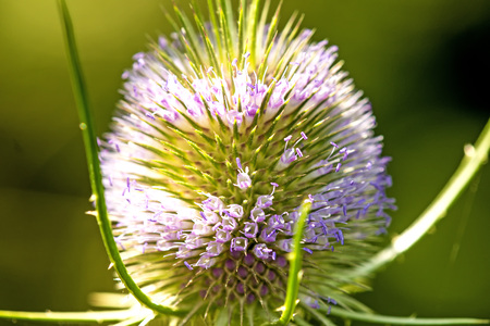 teasel, closeup of the flower