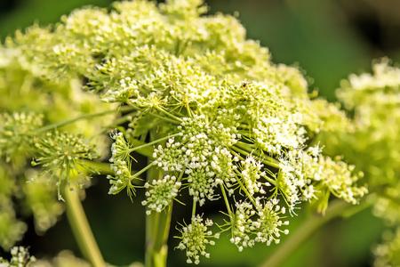 common hog-weed, flower Stock Photo