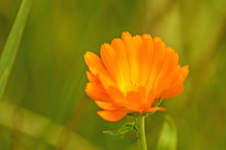 pot marigold: common marigold in a garden
