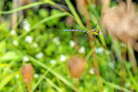 The emperor dragonfly during a flight Stock Photo