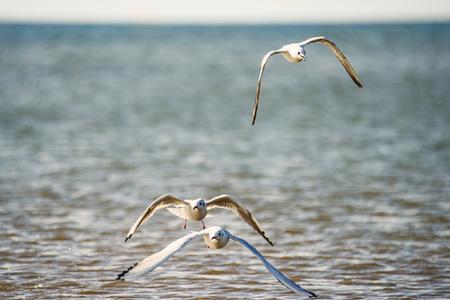Black-headed gull flying deep over the beach Stock Photo