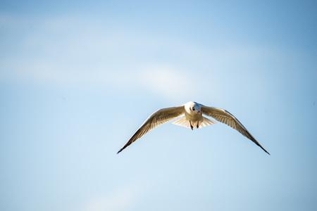 Black-headed gull flying deep over the Baltic sea