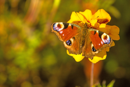 peacock butterfly on a Tagetes flower Stock Photo