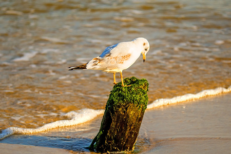 Black-headed gull on an old groin in the Baltic Sea Фото со стока