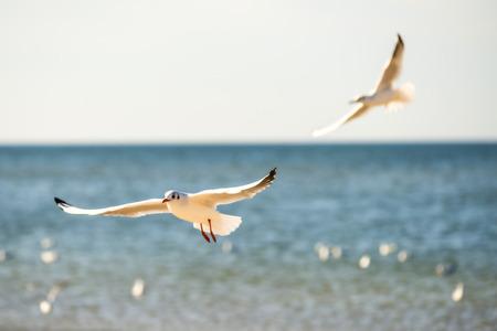 Black-headed gull flying  Stock Photo