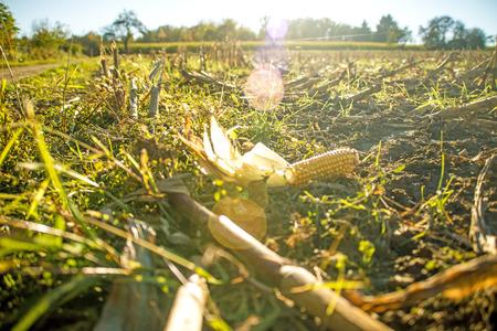 秋の収穫された畑のトウモロコシのコブ 写真素材 - 92705832