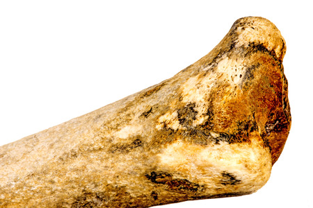 petrified animal bone, closeup