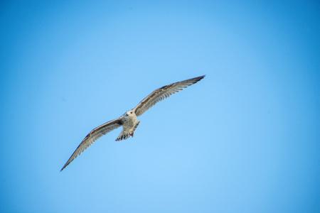 Herring gull flying over the Baltic sea
