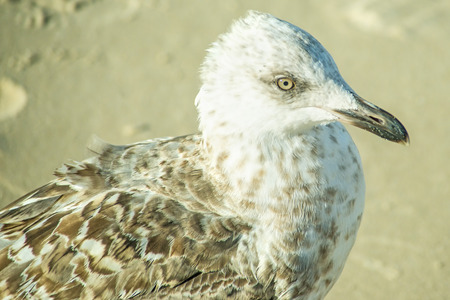 herring gull, young bird on a beach of the Baltic sea in Poland
