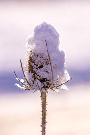 teasel with snow cap