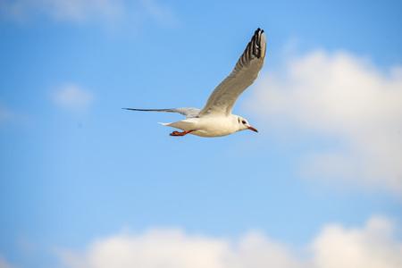 black headed gull flying deep over the Baltic sea
