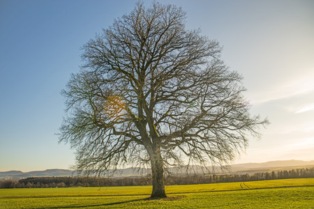 oak in autumn with blue sky Stock Photo