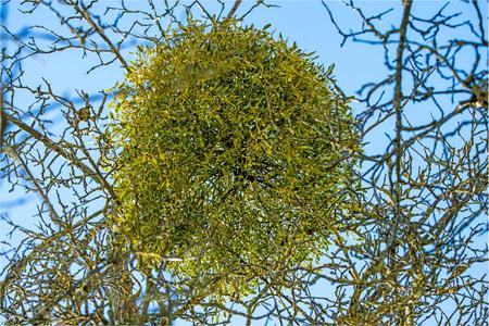 mistletoe in a fruit tree in wintertime in Germany Stock Photo