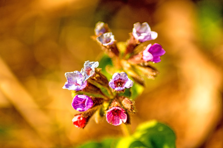 lungwort medicinal plant with flower in spring in Germany