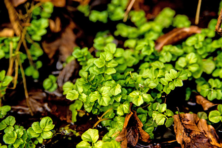 Watercress, fresh eatable herb and medicinal plant in spring Standard-Bild
