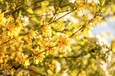Forsythia blossom in spring in Germany Stock Photo