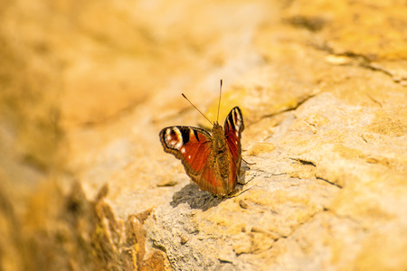 peacock butterfly on a wall