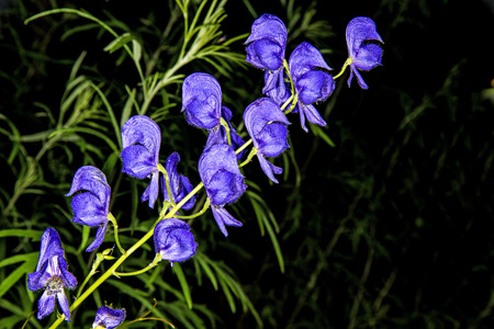 Aconite, medicine plant, most toxic plant of the world