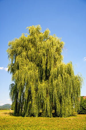 Babylon willow in summertime in Germany