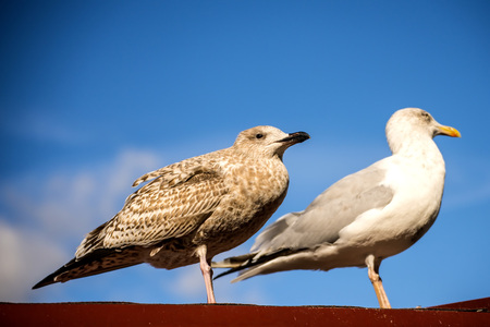 herring gull, young and adult bird on a roof