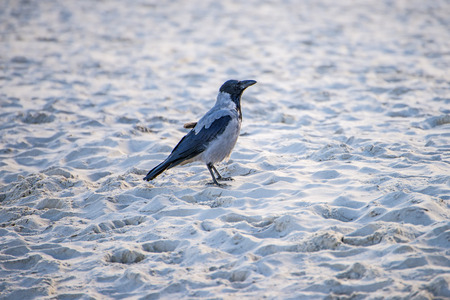 hooded crow on a beach of the Baltic sea in Poland Reklamní fotografie
