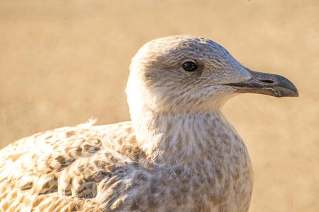 herring gull, young bird in a pedestrian area in Poland Standard-Bild - 117000981