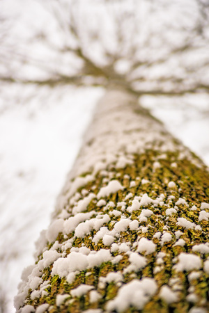 snowhat on oak bark Standard-Bild - 117000983