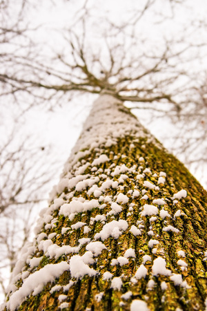 Oak in wintertime, bark with snowhat Standard-Bild - 117000990