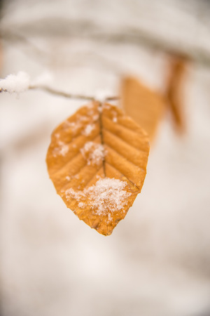 snow what on beech leaf Standard-Bild - 117000992