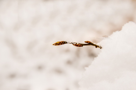 bud of a tree in snow Standard-Bild - 117001002