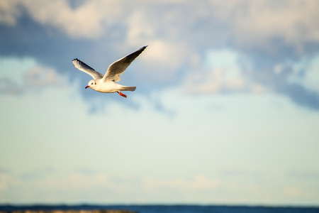Black headed seagull flying deep over the Baltic sea Standard-Bild - 117001006