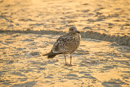 herring gull on a beach of the Baltic sea in the evening sun