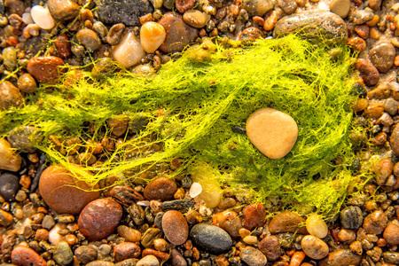 sea lettuce, alga, on a beach of the Baltic sea Standard-Bild - 119602914