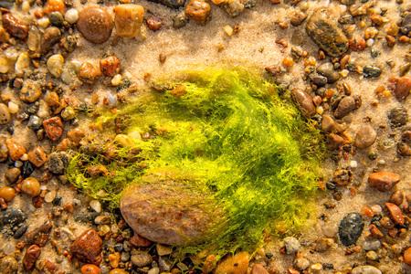 sea lettuce, alga, on a beach of the Baltic sea Standard-Bild - 119602916
