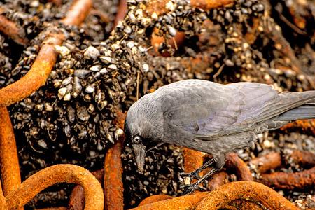 hooded crow looking for food between a rusty chian Standard-Bild - 119602935