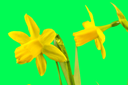 daffodil flowers in spring in Germany Standard-Bild - 119603098