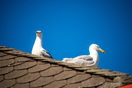 herring gulls on a roof at the Baltic sea in Poland Stock Photo