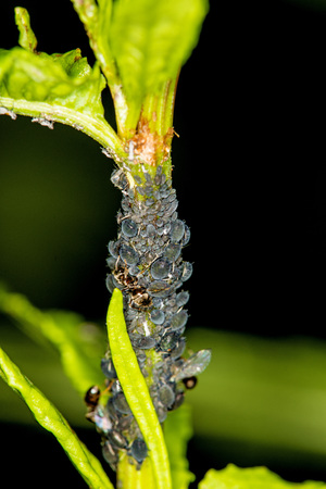 Black lice and ants in a colony on a the docks and sorrels Stock Photo