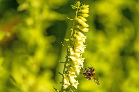 buff-tailed bumblebee on yellow foxglove Standard-Bild