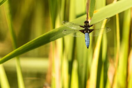 Broad-bodied chaser sitting on a leaf of a cattail Stock fotó