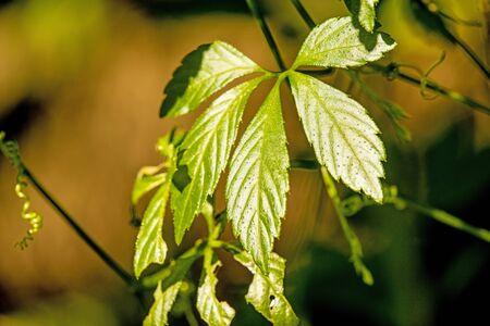 Jiaogulan, Chinese herb for longevity