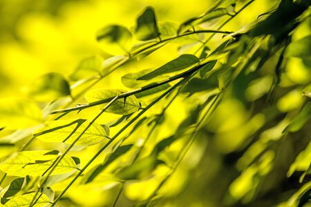 false acacia leaves in spring in back light 版權商用圖片