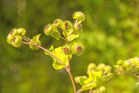 medicinal herb greater burdock with flower
