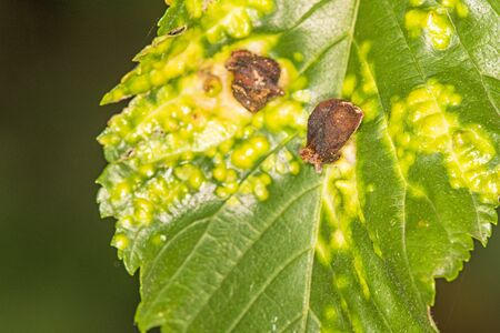 galls on a beech, closeup Stock Photo