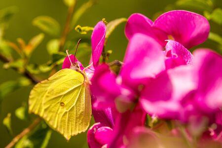 brimstone butterfly on vetch flower