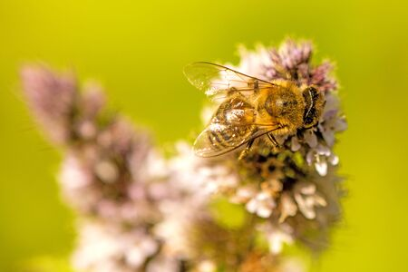 honey bee on a flower of a peppermint in summer in Germany