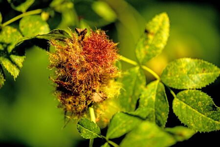 rose bedeguar gall, mature gall on a dog rose in summer in Germany