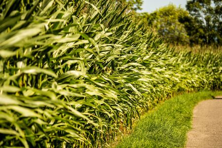 corn, field with growing maize 写真素材