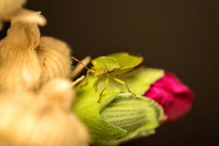green shield bug on a mallow flower Stock Photo